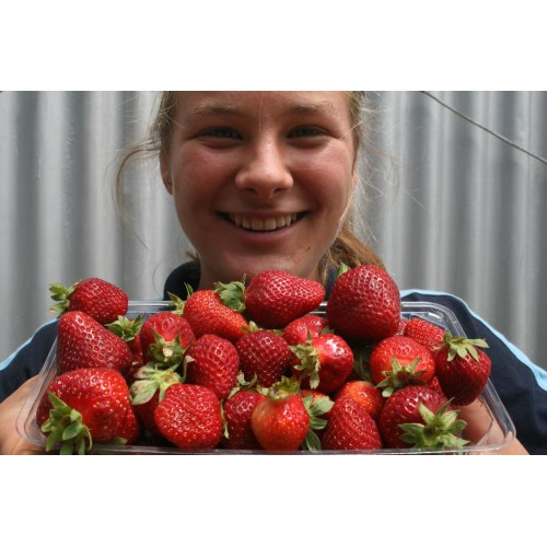 SIMPLY STRAWBERRIES  Big Pack  Aongatete Grown