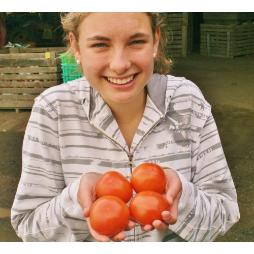 OUTDOOR TOMATOES  1 KG Bag  Katikati Grown