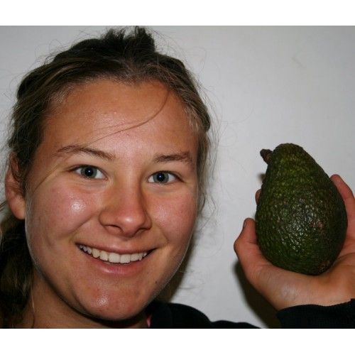 HASS AVOCADOS  Each FIRM Medium Size Katikati Grown