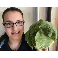 GREEN CABBAGE  Each Katikati Grown