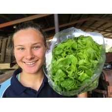 SPRAY FREE HYDROPONIC LETTUCE GREEN OAK LEAF  Katikati Grown