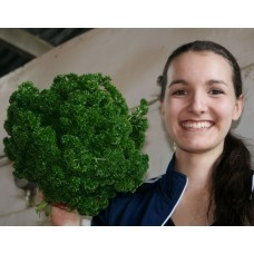 SPRAY FREE CURLY PARSLEY  Medium Size Bunch  Katikati Grown