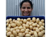 WASHED WHITE WAXY  Small Size Nadine Potatoes 1.5 KG Bag Pukekohe Grown