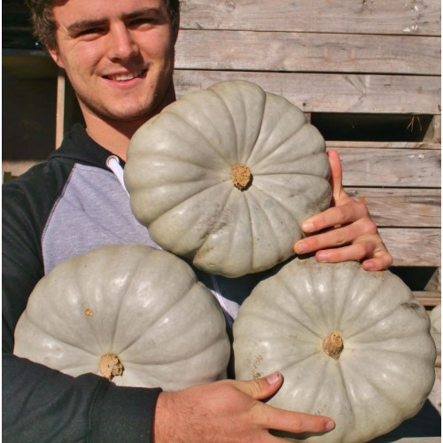 BEST VALUE  3 LARGE CROWN PUMPKINS SPRAY FREE Katikati Grown